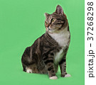 Beautiful three-colored cat on green background 37268298