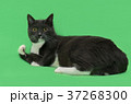 Beautiful two-tone color cat on green background 37268300