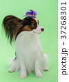 Beautiful young continental spaniel papillon in a 37268301