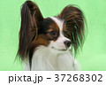 Beautiful young continental spaniel papillon on 37268302
