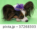 Beautiful young continental spaniel papillon in a 37268303