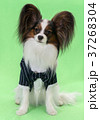 Beautiful young continental spaniel papillon in a 37268304