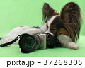 Beautiful young continental spaniel papillon with 37268305
