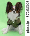 Beautiful young continental spaniel papillon in a 37268306