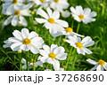 花 ガーデン フラワーの写真 37268690