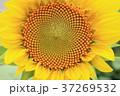 ひまわり 花 夏の写真 37269532