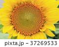 ひまわり 花 夏の写真 37269533