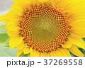 ひまわり 花 夏の写真 37269558