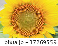 ひまわり 花 夏の写真 37269559