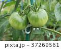 トマト 野菜 実の写真 37269561