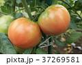 トマト 野菜 実の写真 37269581