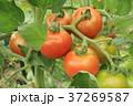 トマト 野菜 実の写真 37269587