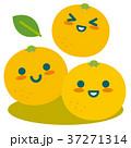 グレープフルーツ 柑橘 果物のイラスト 37271314
