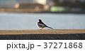 野鳥 1月 37271868