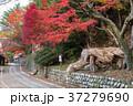 秀衡桜の木 37279690