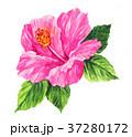 花 トロピカル ハイビスカスのイラスト 37280172