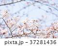 桜 桃色 バックグラウンドの写真 37281436