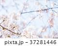桜 ピンク色 バックグラウンドの写真 37281446