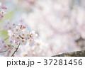 桜 桃色 バックグラウンドの写真 37281456