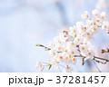 桜 桃色 バックグラウンドの写真 37281457