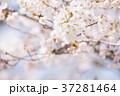 桜 桃色 バックグラウンドの写真 37281464