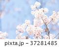 桜 ピンク色 バックグラウンドの写真 37281485
