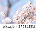桜 ソメイヨシノ 桃色の写真 37281558