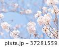 桜 ソメイヨシノ 桃色の写真 37281559