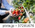 苺 両手 いちご狩りの写真 37281676