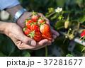 苺 両手 いちご狩りの写真 37281677