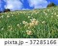 灘黒岩水仙郷 水仙 花の写真 37285166