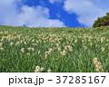 灘黒岩水仙郷 水仙 花の写真 37285167