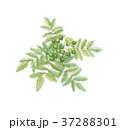 山椒 サンショウ 37288301