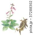 地黄の花と根 37288302