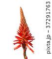 キダチアロエの花 37291763
