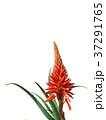 アロエ 花 キダチアロエの写真 37291765