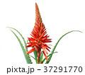 アロエ 花 キダチアロエの写真 37291770