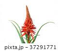 キダチアロエの花 37291771