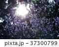 寒桜 桜 花の写真 37300799