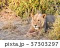 休憩中のライオン 37303297