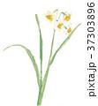 水仙 スイセン 花のイラスト 37303896
