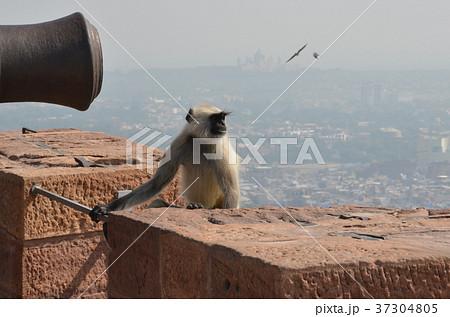 怖い顔の猿と大砲 攻撃的 威嚇 インド ハヌマンラングール 37304805