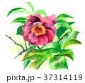 花 サザンカ 植物のイラスト 37314119