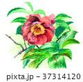 花 サザンカ 植物のイラスト 37314120