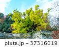 葛城一言主神社の大イチョウ 37316019