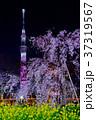 東京スカイツリーとしだれ桜と菜の花 37319567