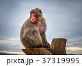 マカクザル さる サルの写真 37319995