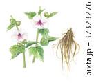 ウスベニタチアオイの花と根 37323276