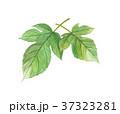 桑の葉 37323281