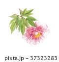 牡丹 ボタン 37323283